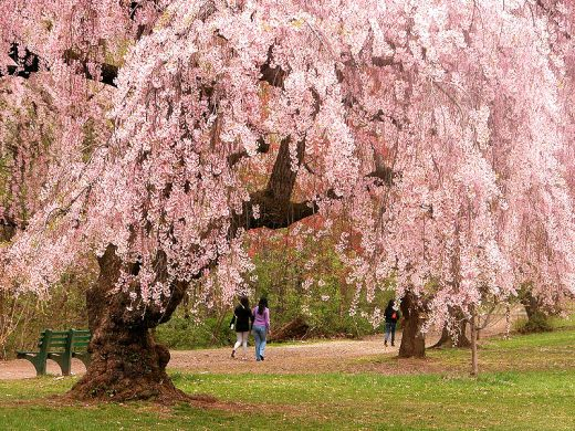 oneworldmeditations.org-cherry_blossoms wikipedia.org-wiki-Cherry_blossom-media-File-Newark_cherry_blossoms-creativecommons.orglicensesby3.0.jpg