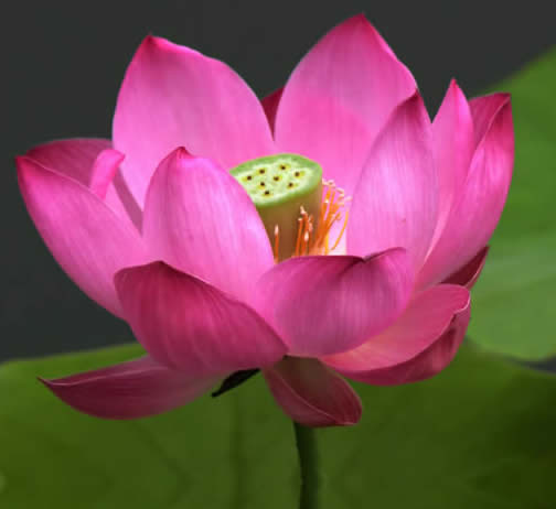 Lotus Photo by Photojoy-bigstockphoto_LOTUS-REFLECTION-SMALL-Lotus___267412_001.jpg