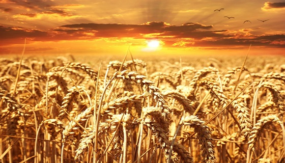 wheat-field-640960_960_720.jpg